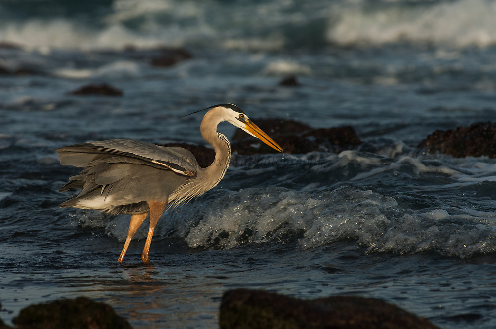 Great Blue Heron (Ardea herodias)<br /> Santiago Island, GALAPAGOS<br /> ECUADOR. South America<br /> RANGE; Alaska, USA to Islands of Venezuela &amp; Galapagos