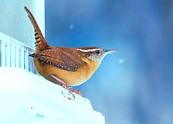 The Carolina Wren is a common species of wren, resident in the eastern half of the USA, the extreme south of Ontario, Canada, and the extreme northeast of Mexico