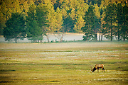 An elk grazes in the early morning light of Custer State Park in South Dakota. August 29, 2009