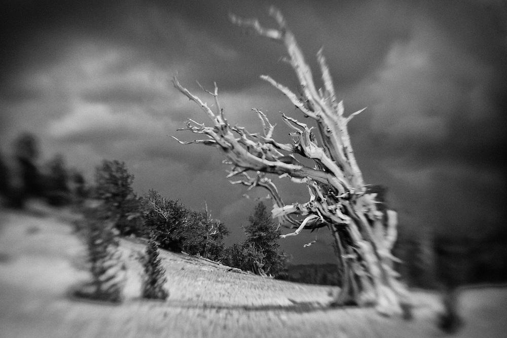 Bristlecone Pine - White Mountains, CA - Lensbaby - Infrared Black & White
