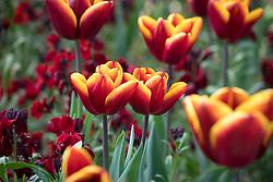 Tulipa 'Abu Hassan' with Erysimum cheiri 'Sunset Dark Red' (Sunset Series). Wallflower