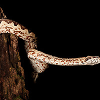 Solomon Islands Ground Boa, Candoia carinata paulsoni, with tongue out on Kolombangara