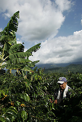 A worker picks coffee at the end of the day at the La Cruz coffee farm. The tourism industry is slowly emerging in Quindio, the Colombian coffee country.  Old coffee haciendas have been turned into new hotels catering to tourists.  The countryside, some of the most beautiful in the country, is a popular weekend getaway spot where visitors can participate in a variety of outdoor activities as well as learn about coffee production.