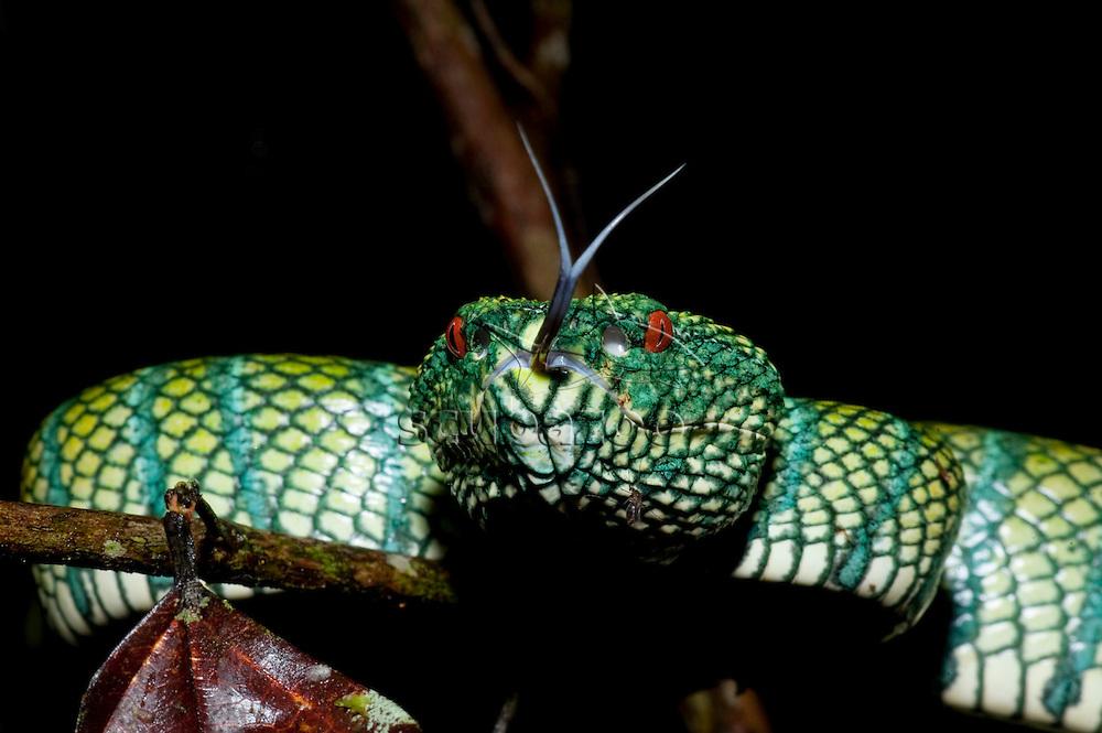 Wragler's pit-viper, Trimerusurus waglerii, Maliau Basin, Sabah, Borneo, East Malaysia.