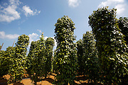 Phu Quoc Island. Pepper plantation at Khu Tuong.