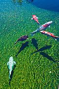 Koi, Lily Reflecting Pond,  Balboa Park, San Diego, Ca