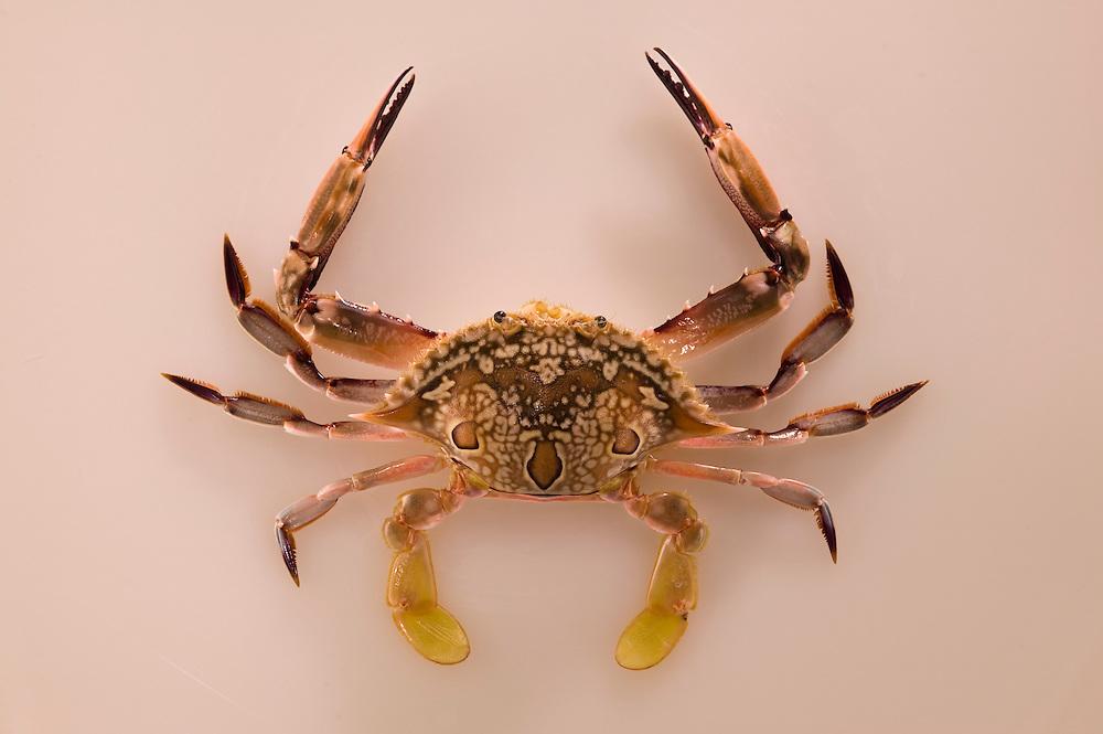 Kuahonu crab, White Crab