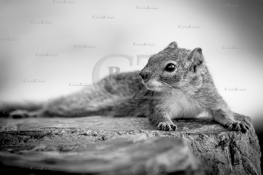 Lazy Squirrel black and white at rest camp in Ethosha National Park Namibia<br />