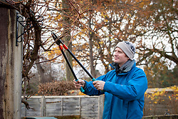 Cutting back a grape vine with loppers in winter. Vitis vinifera