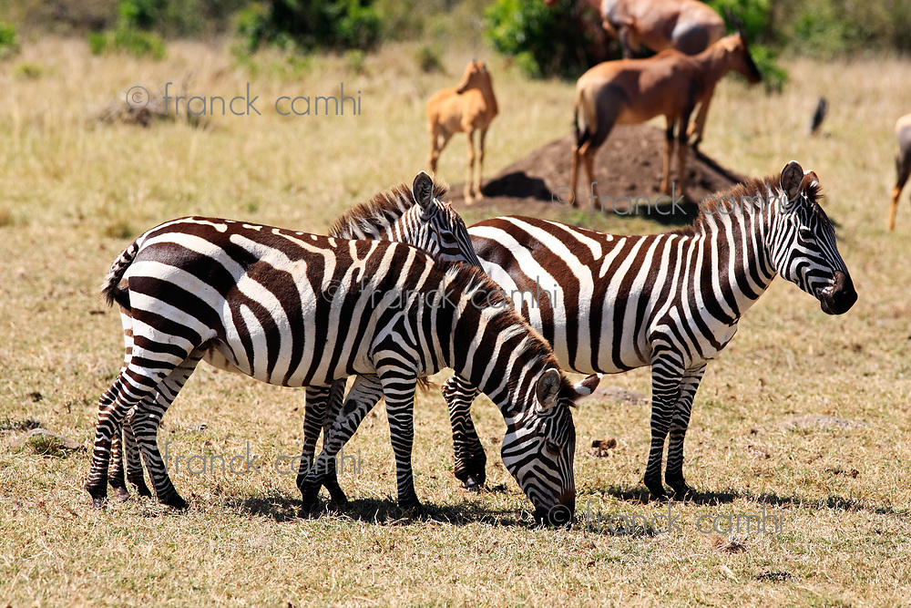 The Grevy s zebra (Equus grevyi), sometimes known as the imperial zebra, is the largest species of zebra. It is found in the masai mara reserve in kenya africa