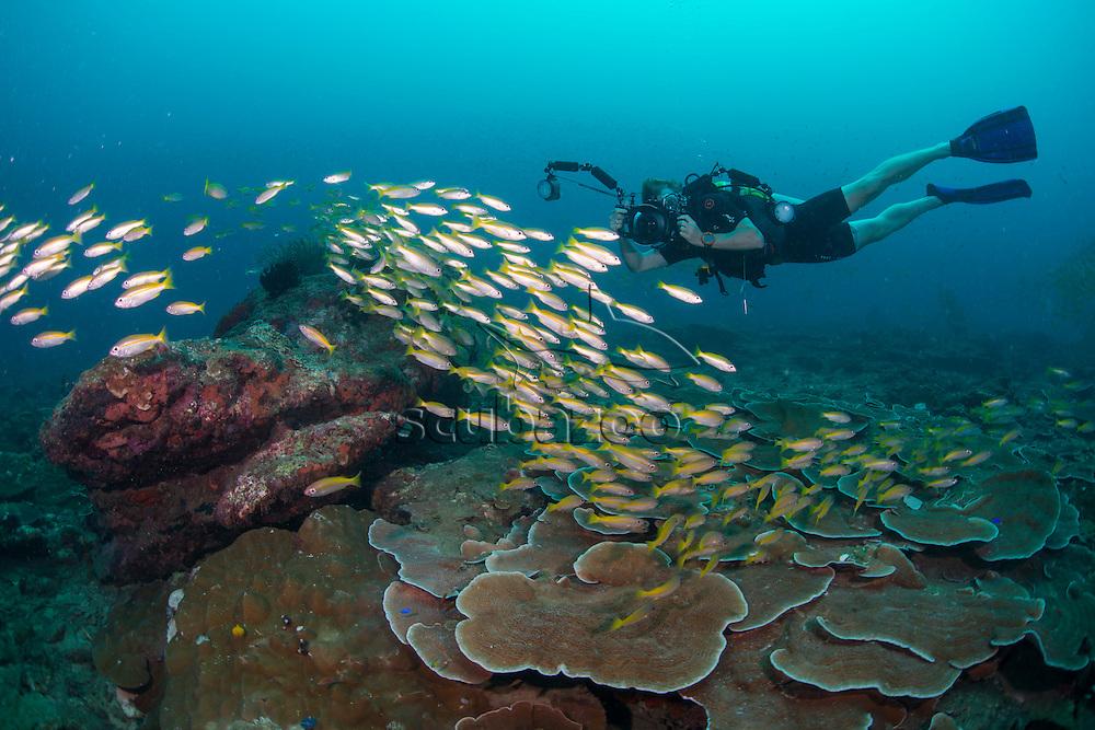 Scuba Diver Photographing a shoal of Bigeye Snapper, Lutjanus lutjanus, Miri, Sarawak, Malaysia, Borneo, South China Sea,