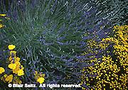 Lavender, lavendula angustifolia, and Yarrow, achillea 'moonshine,' Tyler Arboretum, Philadelphia gardens and arboretums, Delaware Co., PA