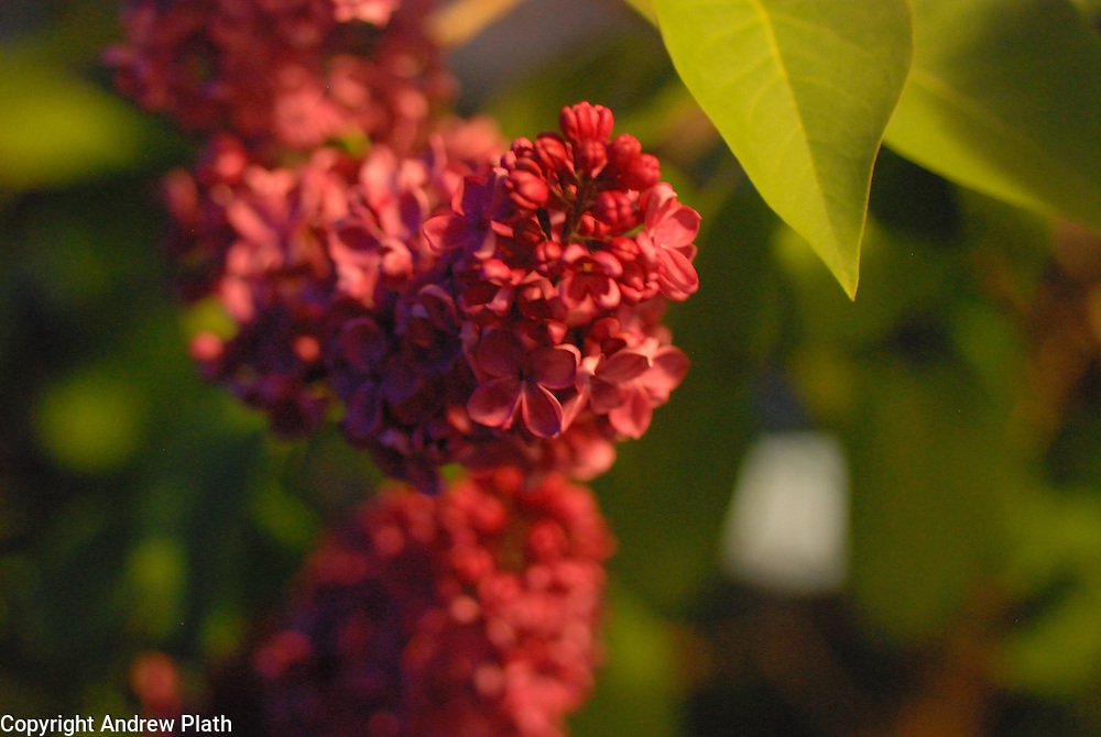 Evening light reflects off of lilacs.