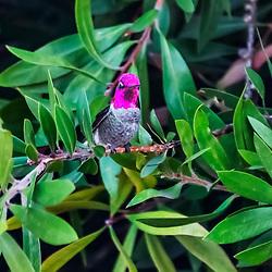 """""""Colibri-de-ana (Calypte anna) fotografado em São Fransisco, nos Estados Unidos da América - EUA. Registro feito em 2018. <br /> ⠀<br /> ⠀<br /> <br /> <br /> <br /> <br /> ENGLISH: Hummingbird photographed in San Fancisco, in United States of América - USA. Picture made in 2018."""""""