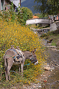 A donkey eats wildflowers along a stream in the village of Teotitlan de Valle in the Oaxaca Valley, Mexico.