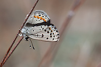 Icaricia neurona (Veined Blue) aberrant with no structural gold scales in 'iris' of margin eye spots at Mt. Pinos, Los Padres NF, Ventura Co, CA, USA, on 16-Jun-18