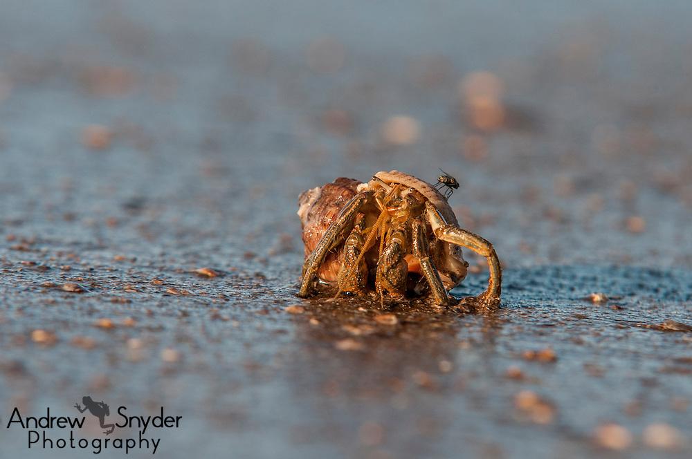A hermit crab on a beach. Georgetown, Guyana.
