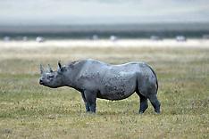 Black Rhino - Tanzania 4 Sep 2019