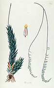 Hand painted botanical study of an Aloe spiralis plant anatomy from Fragmenta Botanica by Nikolaus Joseph Freiherr von Jacquin or Baron Nikolaus von Jacquin (printed in Vienna in 1809)