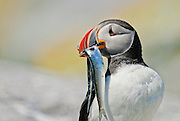 Puffin with fish in Machias Seal Island in the Gulf of Maine