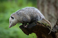 The Virginia opossum (Didelphis virginiana), commonly known as the North American opossum, is a marsupial found in North America. It is the only marsupial found north of Mexico. In the United States, it is typically referred to simply as a possum. It is a solitary and nocturnal animal about the size of a domestic cat. It is a successful opportunist. It is familiar to many North Americans as it is often seen near towns, rummaging through garbage cans.