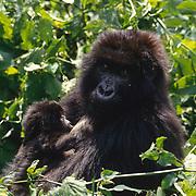 Mother and baby mountain gorilla in Volcanoes National Park Rwanda, Africa.