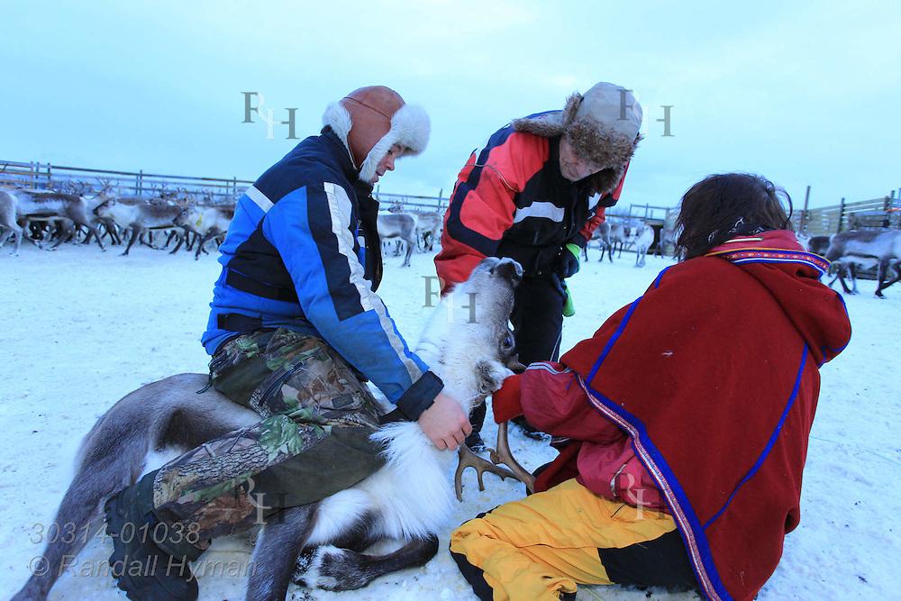Sami herders prepare to fit reindeer with ear tag; Tromso, Norway.