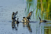 American Coots fighting