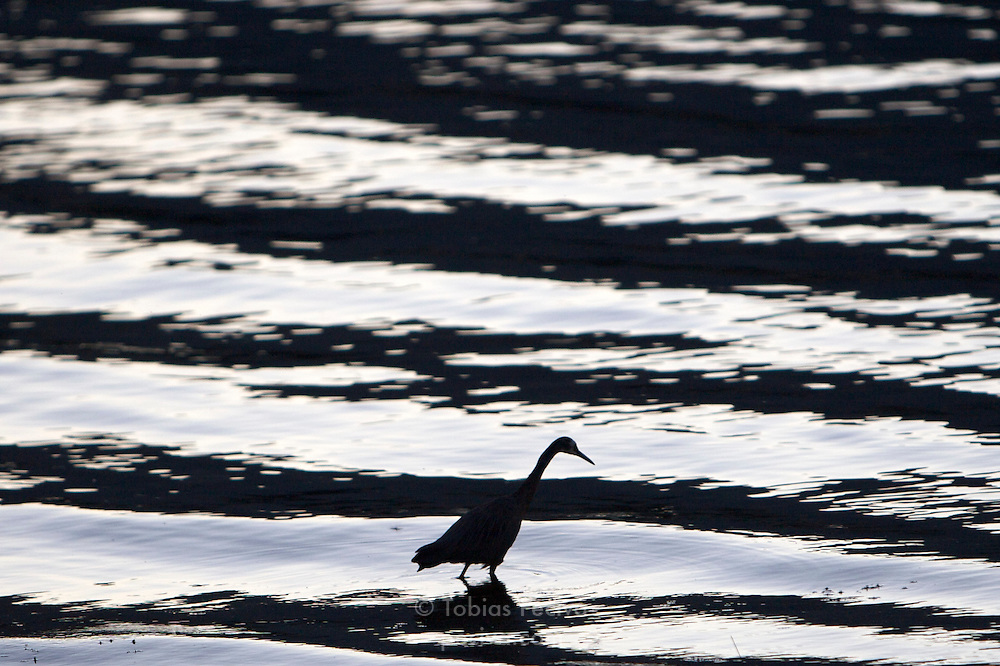 White-faced heron foraging for food in late evening light. Lake Wanaka, New Zealand.
