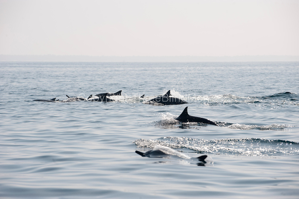 Dolphins off the coast of Kalpitiya.