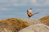 Rooster pheasant cackling from on top of a round hay bail during spring mating season