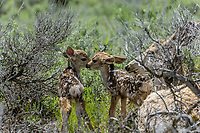 Mule Deer [Odocoileus hemionus] doe with newly born twin fawns (1-2 hours old); Yellowstone National Park, Wyoming
