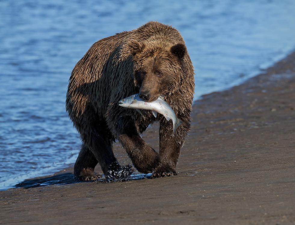 Coastal Brown Bear (Ursus arctos) with a salmon, Silver Salmon Creek, Lake Clark National Park and Preserve, Alaska
