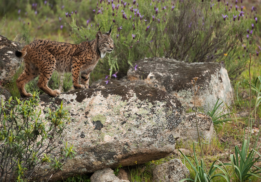 Iberian Lynx (Lynx pardinus) female<br /> Sierra de And&uacute;jar Natural Park, Mediterranean woodland of Sierra Morena, north east Ja&eacute;n Province, Andalusia. SPAIN<br /> RANGE: Iberian Penninsula of Spain &amp; Portugal.<br /> CITES 1, CRITICAL - DANGER OF EXTINCTION<br /> Fewer than 200 animals in the wild. There is a reduced genetic variability due to their small population. They have suffered due to hunting, habitat loss and road accidents, but the most critical threat today is the reduced numbers of wild Rabbits (Oryctolagus cuniculus) within the lynx's range. The rabbits are the principal food source of the lynx and they are suffering from deseases such as Myxomatosis &amp; Rabbit haemoragic virus. The lynx is also suffering from deseases such as feline leukaemia<br /> A medium sized cat weighing 12-15kgs, Body length 90cm, Shoulder height 45-50cm. They have a mottled fur pattern, (3 varieties of fur pattern found between the different populations and distinguishing them geographically)  short tail, ear tufts and are bearded. They are territorial cats although female cubs have been found to share their mother's territory. Mating occurs in Dec/Jan and cubs born around April. They live up to 13 years.