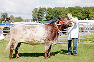 The Angus Show, Brechin, Saturday 8th June, 2013. Shorthorn champ from Eastmill Farm