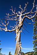 Dead weathered tree on the trail to Mt. Yale in the Sawatch Range, Colorado