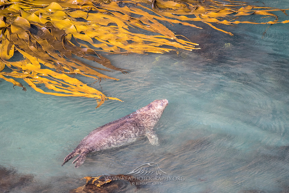 After a good rest underneath the kelp, a NZ Sea Lion takes a leisurely swim in the Catlins, New Zealand.