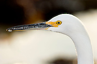 Snowy Egret (Egretta thula), Little Corona Del Mar Beach, California
