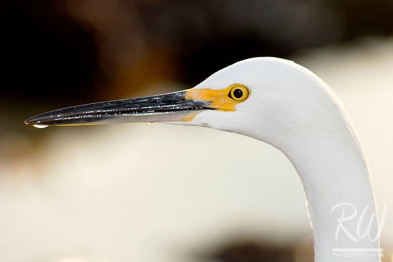 Snowy Egret (Egretta thula), Little Corona Del Mar Beach, California