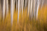 Panned movement of aspen tree trunks with autumn colored grasses. Part of Dancing Tree series.