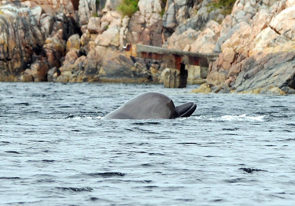 Northern bottlenose whale (Hyperoodon ampullatus). Location : Bergen, Norway