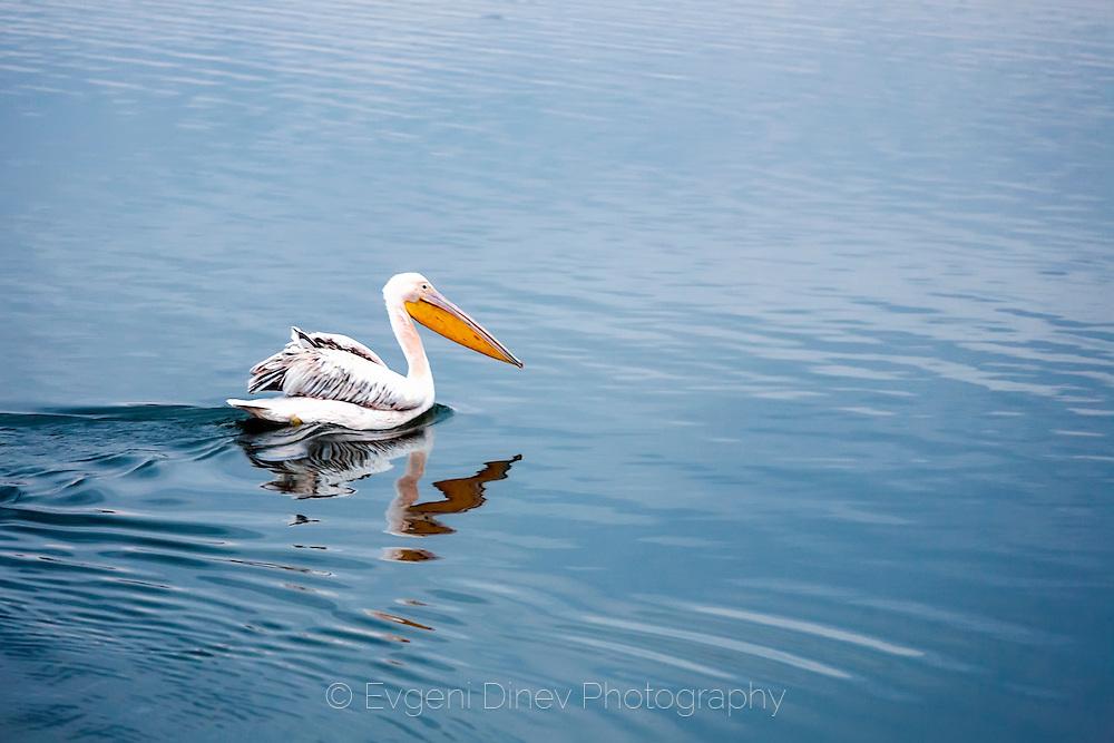 A lone,y pelican in Mandrensko lake