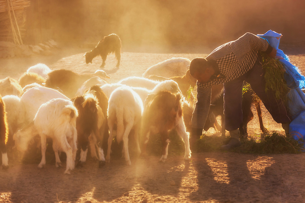 Man feeding goats and sheeps.