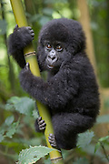 Mountain Gorilla<br /> Gorilla gorilla beringei<br /> 10 mos old infant playfully climbing bamboo pole<br /> Parc National des Volcans, Rwanda