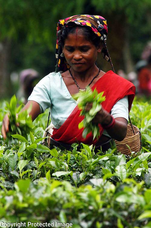 Pix-Tea Garden-1----Caption : Women tea labourers are plucking tea-leaves from a teagarden of Eastern Indian State Assam. Pix-Shib Shankar Chatterjee...