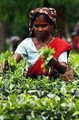 Tea Garden of Northeast Indian State, Assam