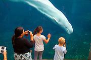 Mystic351021-1044G.Huey ~ Copyright: George H.H. Huey ~ Visitors watching the live Beluga whales at the Mystic Aquarium.  Mystic, Connecticut.