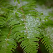 Cottonwood seeds covering ferns - Julia's Gulch - Northeast Tacoma, WA