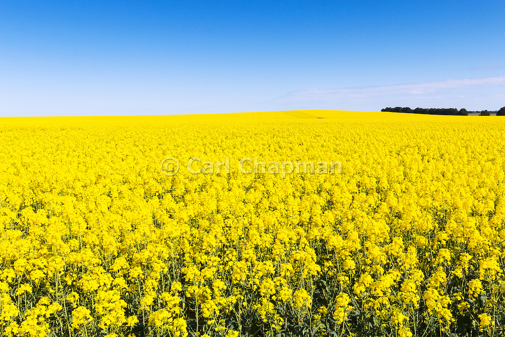 Flowering canola crop in rural farm paddock under blue sky near Willaura, country Victoria, Australia.