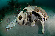 Skeleton of Loggerhead Sea Turtle, Caretta caretta, resting on the sea bottom offshore Palm Beach, Florida, United States